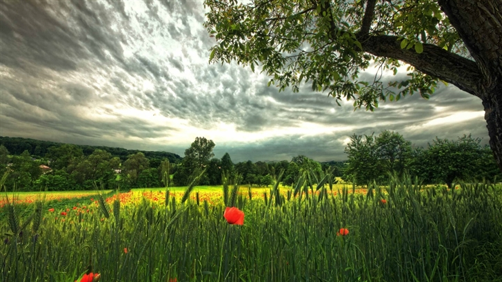 Poppies And Spikelets Mac Wallpaper
