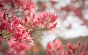 Azaleas Bloom In Spring Mac wallpaper