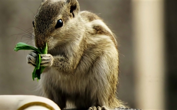 Indian Palm Squirrel Mac wallpaper