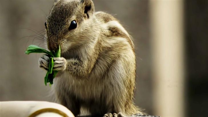 Indian Palm Squirrel Mac Wallpaper