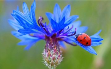 Ladybug On A Ble Cornflower Plant Mac wallpaper