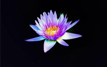Violet water lily on black Mac wallpaper
