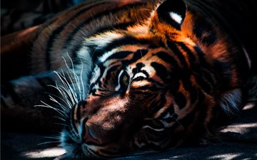 Tiger resting in the shad... iMac wallpaper