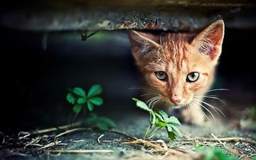 Red Kitten Hide Seek Mac wallpaper