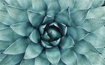 Succulent center in macro Mac wallpaper