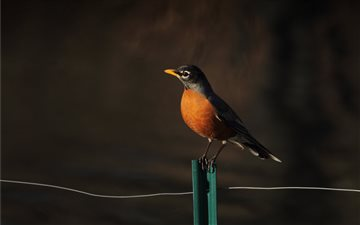 Robin on a Fence iMac wallpaper