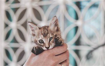 Kitten in hand Mac wallpaper