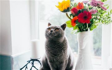 A British Shorthair All Mac wallpaper