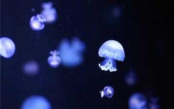 Blue Jellyfishes Mac wallpaper