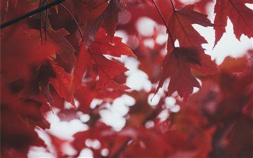 Deep Red Leaves Mac wallpaper