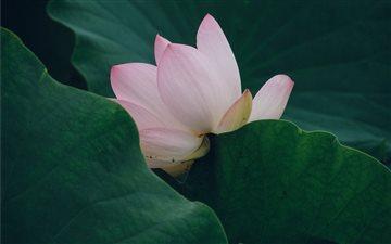 Lotus Mac wallpaper