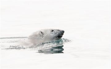 Wild Polar bear swimming ... Mac wallpaper
