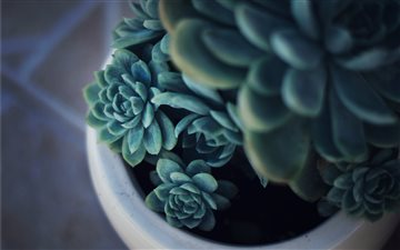 Baby succulents Mac wallpaper