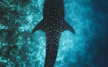 Whale Shark in the Maldiv... All Mac wallpaper