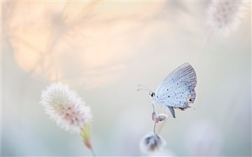 Airy Butterfly iMac wallpaper