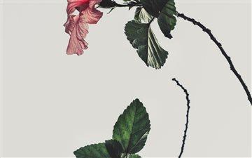 pink Hibiscus rosa sinens... Mac wallpaper