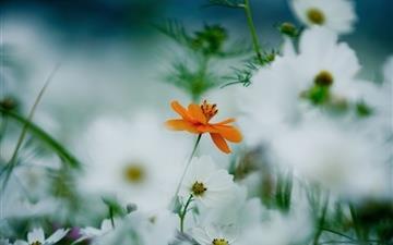 Orange White Kosmeya Flowers Mac wallpaper
