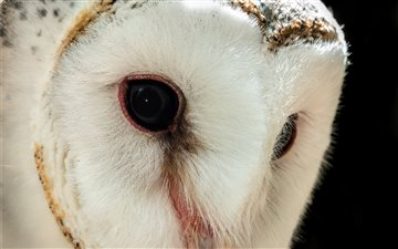Barn Owl Mac wallpaper