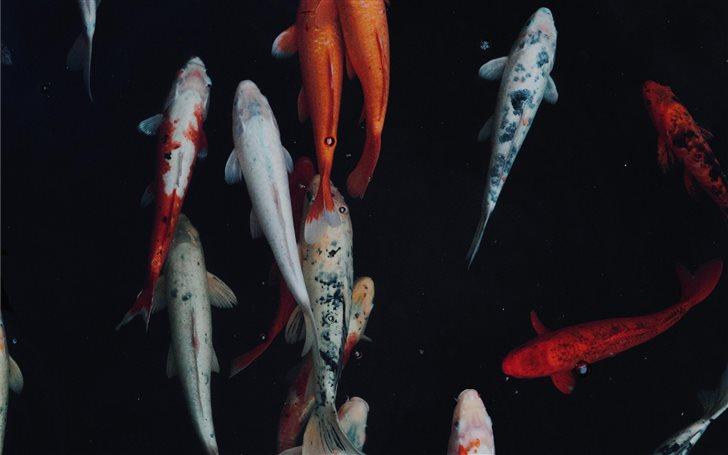 white and orange koi fish Mac Wallpaper