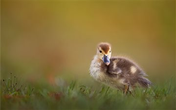 brown duckling on green g... Mac wallpaper
