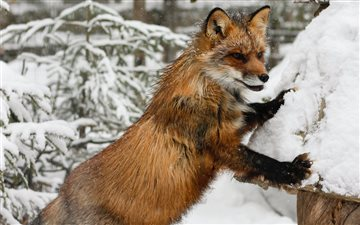 Fox in Lapland, Finland Mac wallpaper