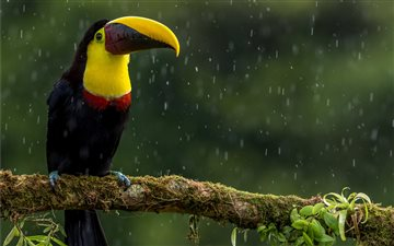 Chesnut-mandibled Toucan Mac wallpaper