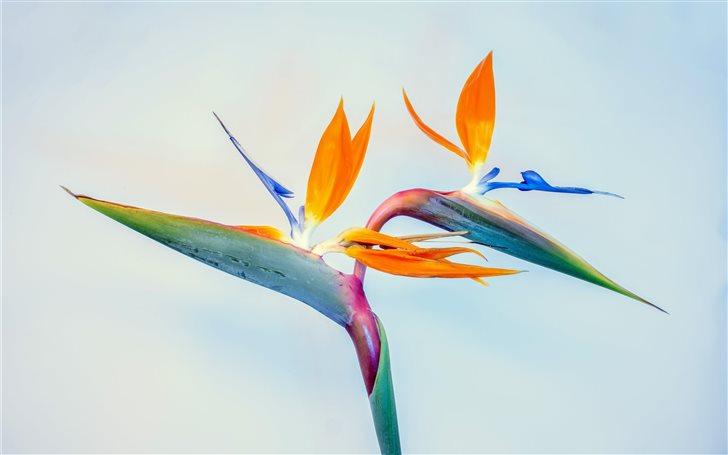 Birds of paradise, father... Mac Wallpaper