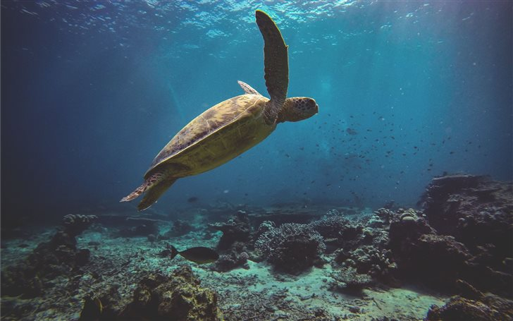 A green sea turtle glidin... Mac Wallpaper