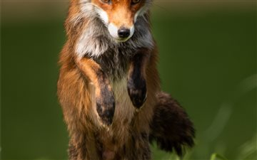 Red Fox Hunting Mac wallpaper