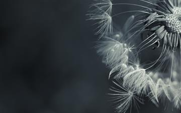 Dandelion Mac wallpaper