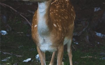 """Bambi"" Mac wallpaper"