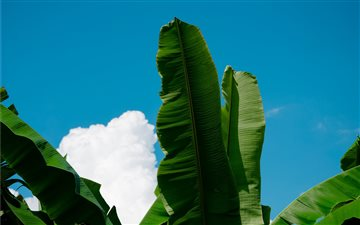 #plantain#plants#nature#d... iMac wallpaper