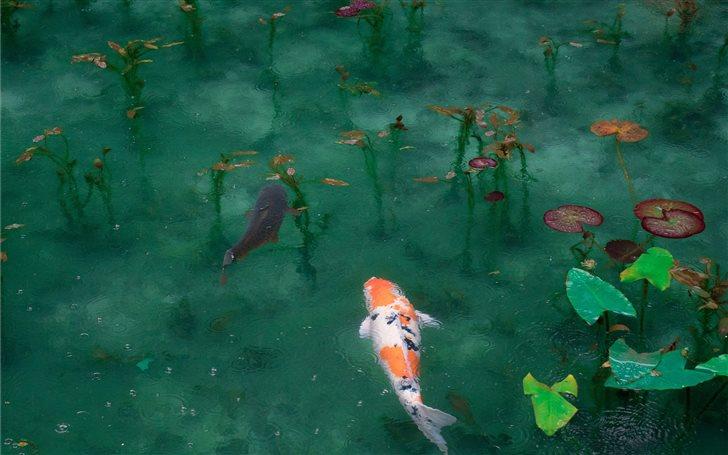 photo of two black white and orange koi fish Mac Wallpaper