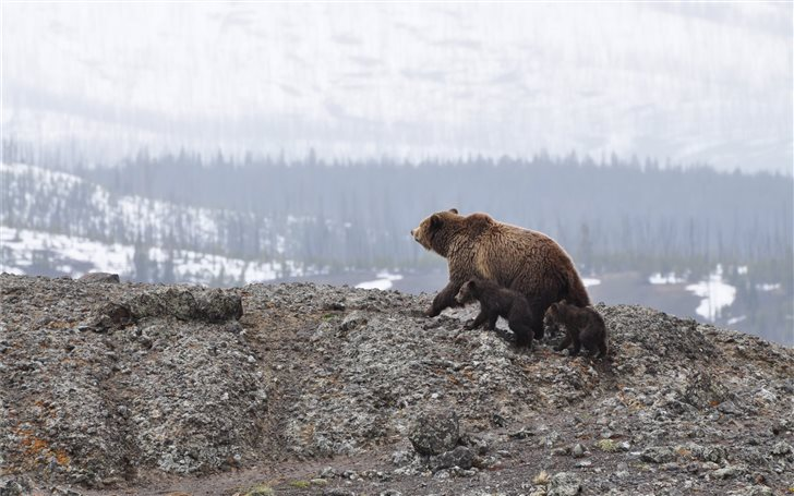 grizzly bear walking on mountain Mac Wallpaper