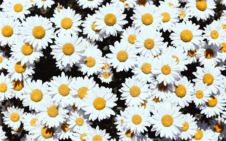 white Daisy flowers Mac Wallpaper