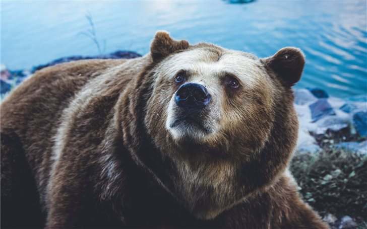 grizzly bear near body of water Mac Wallpaper