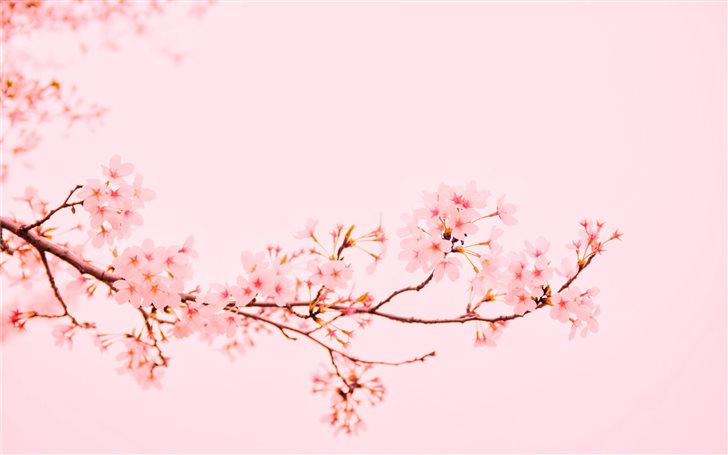 pink flowers at bloom Mac Wallpaper