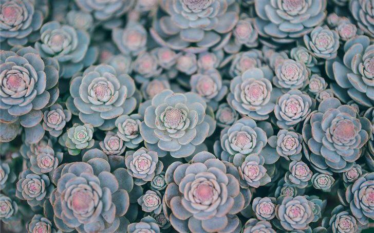 green succulents in bloom Mac Wallpaper