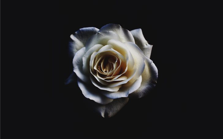 closeup of white rose Mac Wallpaper