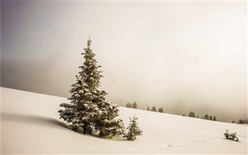 pine tree surrounded by snowfield All Mac wallpaper