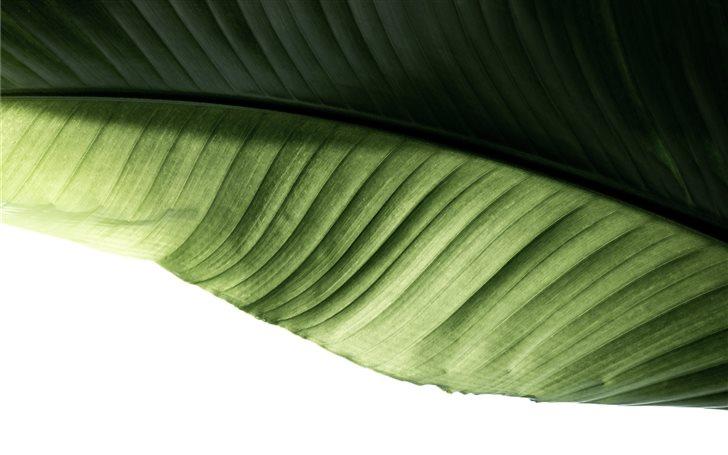 green banana leaf Mac Wallpaper