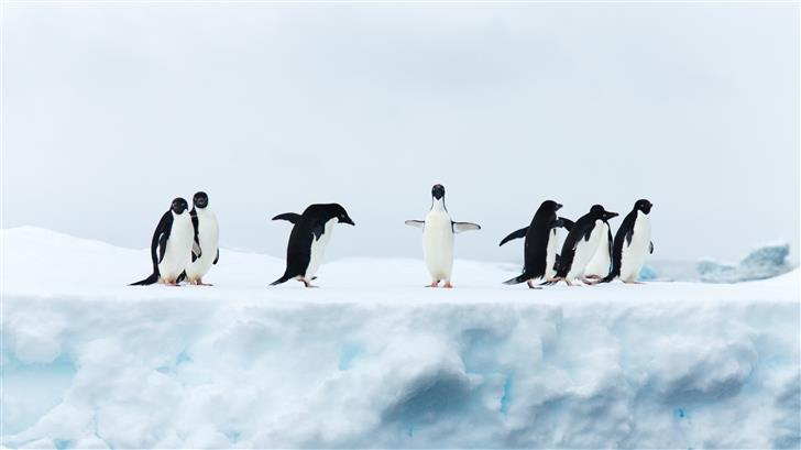 seven black and white penguins Mac Wallpaper