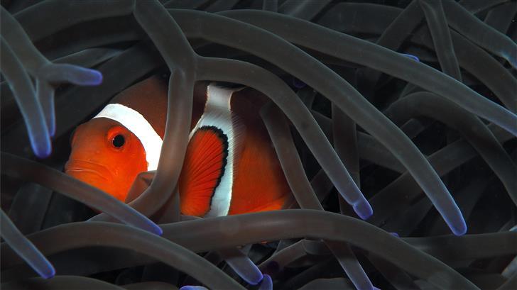 orange clownfish Mac Wallpaper