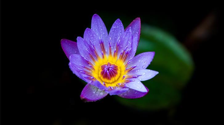 purple and yellow lotus flower bloom Mac Wallpaper