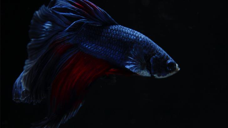 black and red betta fish wallpaper Mac Wallpaper
