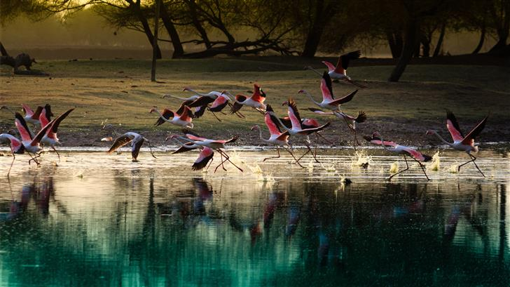 flock of flamingos on body of water Mac Wallpaper