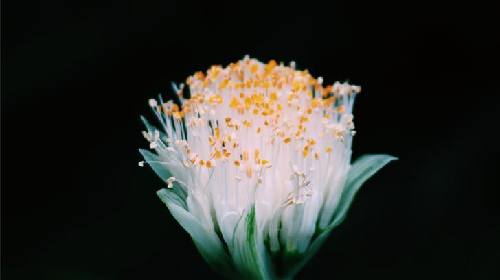 white flower Mac Wallpaper