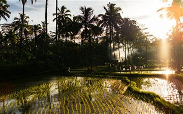 rice field and Coconut trees All Mac wallpaper