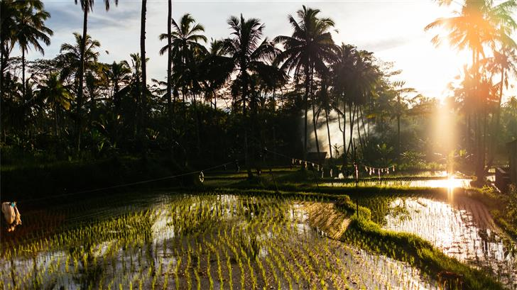 rice field and Coconut trees Mac Wallpaper
