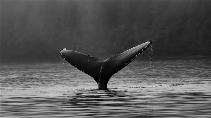 Humpback whale fluke Mac Wallpaper